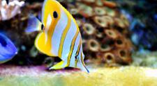 Tropical fish chelmon rostratus