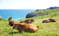 Herd of cows grazing
