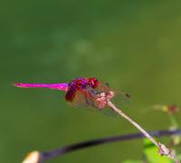 Crimson dragonfly