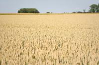 Wheat Field in Wallonia Belgium