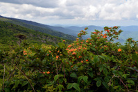 Flaming Azalea on Roan Mountain