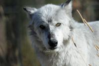 White Wolf Eyes