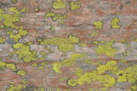 Lichenic at a stone