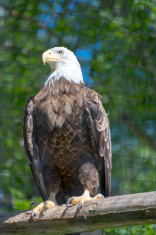 Majestic Bald Eagle Stands Proud