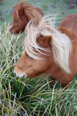 Ponies in Padock