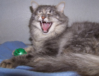 Laughing Longhaired Gray Tabby Cat