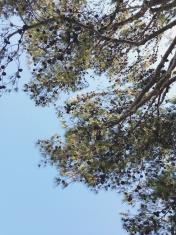 Pine Tree Top