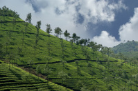 tea plantation of Kerala, South India