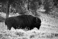 Bison (b&w)