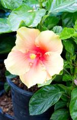 Hibiscus Rosa sinensis.