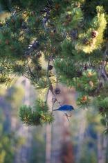 Bluebird on a pine branch