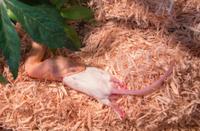 honey corn snake eating dead rat