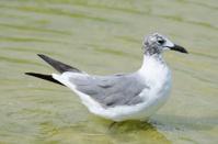 Laughing Gull (1st Summer)