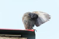 Phoenicurus ochruros, Black Redstart.