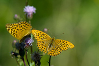 The Silver-washed Fritillary (Argynnis paphia)