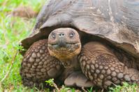 Galapagos Giant Tortoise in Closeup