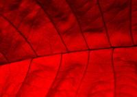 Valentine's texture,red leaf (background)