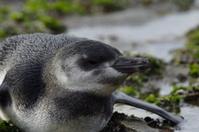 young Magellanic Penguin
