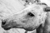 Spot Nose Horse