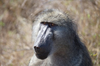 Chacma baboon face