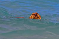 Dog in the Ocean