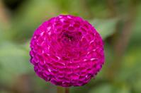 Willows Violet dahlia