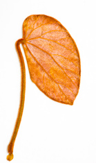 Gold leaf Bauhinia