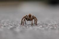Tarantula walking straight at the camera.