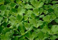 green floating water lettuce
