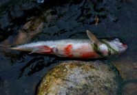 dead fish in contaminated river