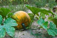 pumpkin in fall garden