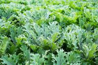 Green ornamental cabbage