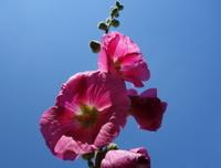 lovely pink hollyhocks in the sunshine
