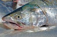 salmon head