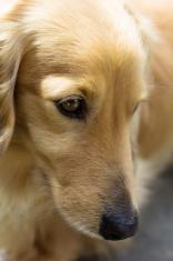 Blond miniature dachshund