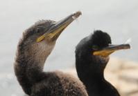 Young Cormorants