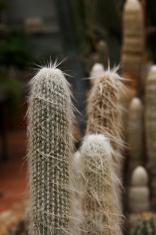 Old Man Cactus