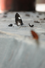 Butterfly eating some sodium on ground.