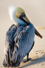 Pelican is walking on a shore