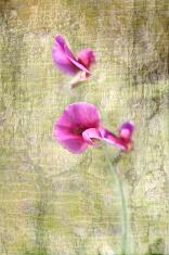 Pea flowers.
