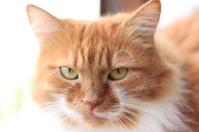 orange cat looking straight