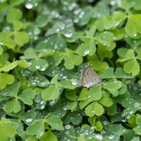 hree leaf clovers