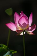 lotus flower under sunshine