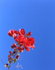 Crimson Red Bougainvillea