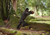Tufted Capuchin breaking coconut