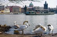 Swans of Prague. Czech Republic
