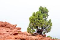 Pine tree on top of red rocks Colorado