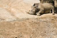White rhino sunbathes