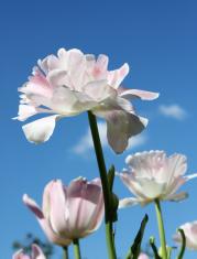 White tulips on blue sky