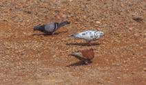 "The Rock Dove or Pigeon ""Columba livia"""